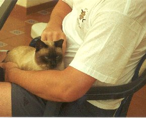 Siamese on lap at café